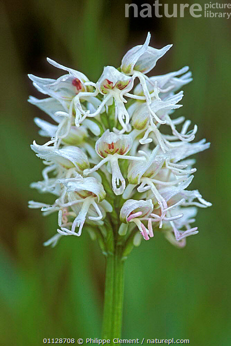 Monkey orchid flower, white morph {Orchis simia} France  ,  VERTICAL,PLANTS,ORCHIDS,EUROPE,DIMORPHISM,FLOWERS,COLOUR MORPHISM  ,  Philippe Clement