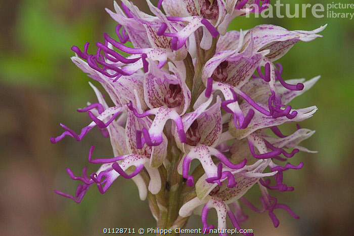Monkey orchid flower, {Orchis simia} France, FLOWERS,EUROPE,CLOSE UPS,ORCHIDS,PLANTS,VERTICAL, Philippe Clement