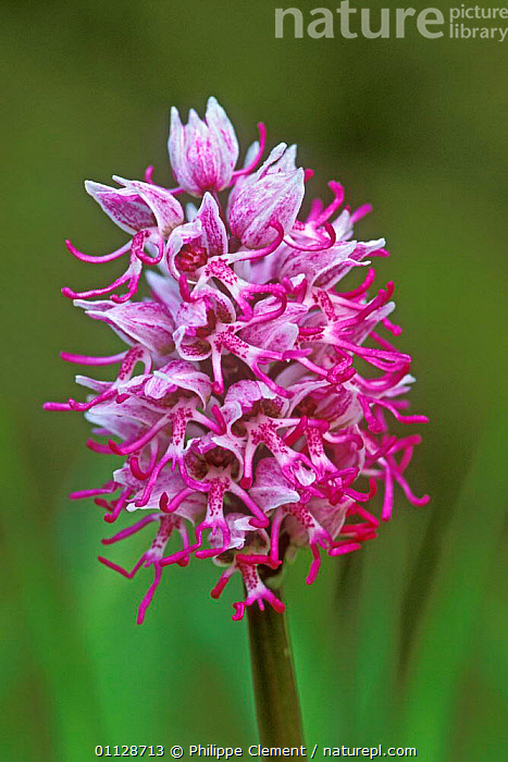 Monkey orchid flower, {Orchis simia} France  ,  FLOWERS,EUROPE,ORCHIDS,PLANTS,VERTICAL  ,  Philippe Clement