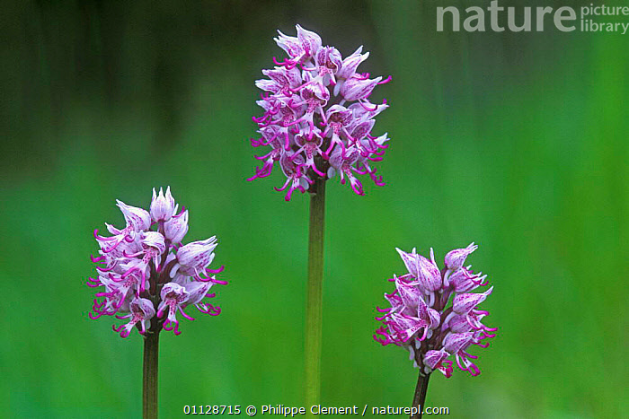 Monkey orchids {Orchis simia} France, FLOWERS,FLOWER,EUROPE,ARTY,PLANTS,GROUPS,THREE ,ORCHIDS, Philippe Clement