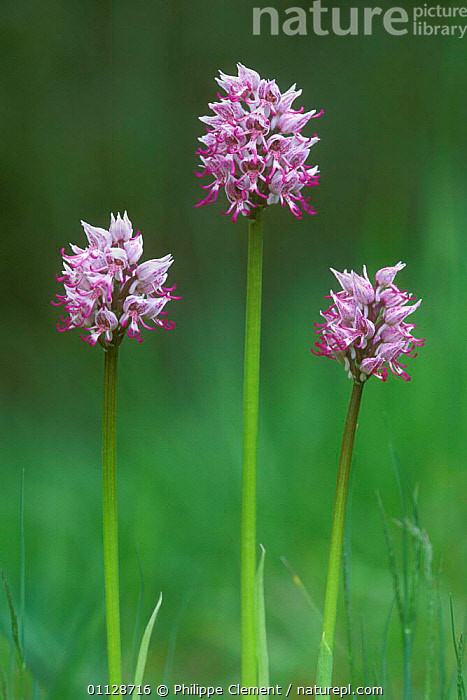 Monkey orchids {Orchis simia} France  ,  THREE,VERTICAL,GROUPS,PLANTS,EUROPE,FLOWER,FLOWERS  ,  Philippe Clement
