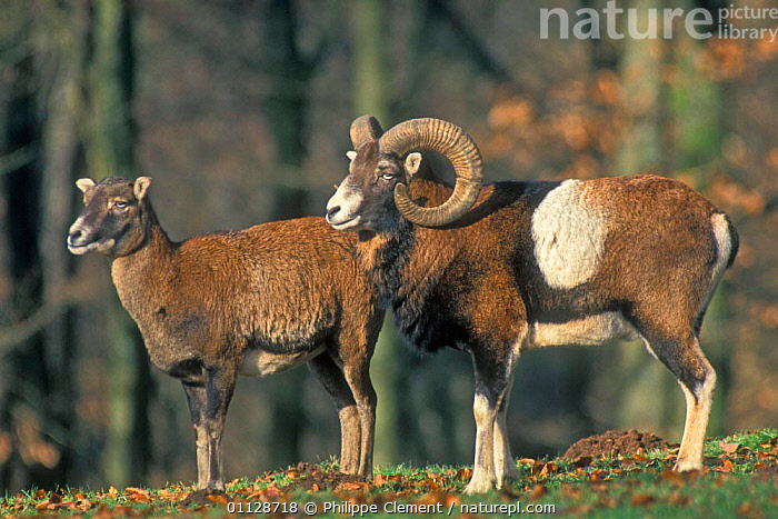Mouflon pair {Ovis musimon} captive, TWO,SHEEP,MOUNTAIN,MAMMALS,MALE FEMALE PAIR,ARTIODACTYLA,EUROPE, Philippe Clement