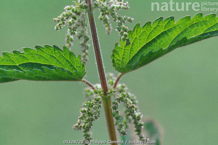 Stinging nettle flower {Urtica dioica} Belgium  ,  NETTLES,PLANTS,FLOWERS,EUROPE  ,  Philippe Clement
