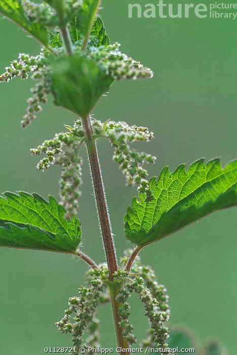 Stinging nettle flower {Urtica dioica} Belgium  ,  EUROPE,FLOWERS,PLANTS,NETTLES,VERTICAL  ,  Philippe Clement