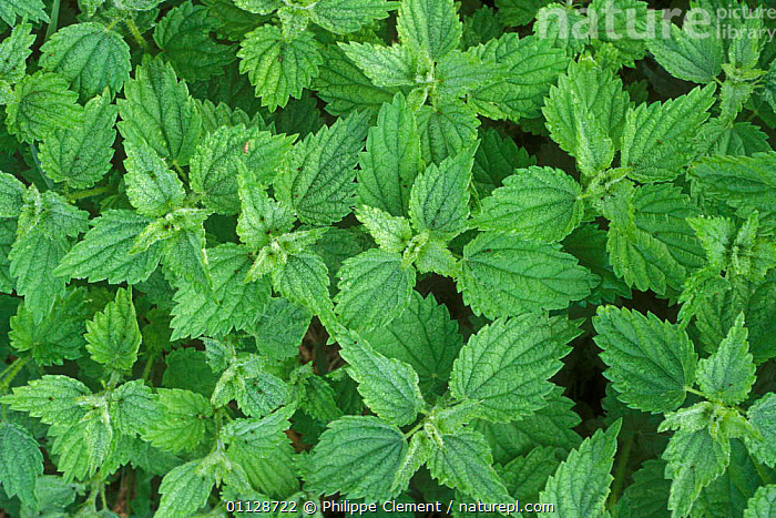 Looking down on Stinging nettle leaves {Urtica dioica} Belgium, NETTLES,PLANTS,EUROPE, Philippe Clement