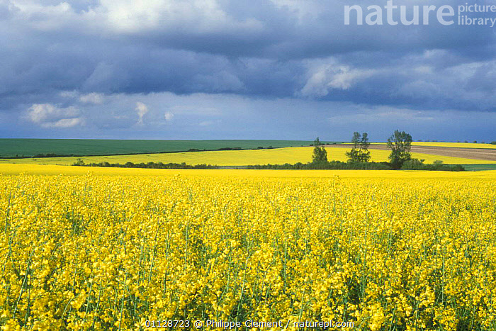 Large field of Oil seed rape in flower {Brassica napus} La Brenne, France, EUROPE,FARMLAND,FIELDS,AGRICULTURE,CROPS,PLANTS,LANDSCAPES,YELLOW, Philippe Clement
