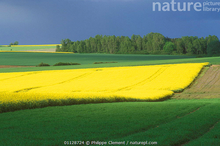 Large field of Oil seed rape in flower {Brassica napus} La Brenne, France  ,  YELLOW,LANDSCAPES,PLANTS,CROPS,AGRICULTURE,FIELDS,FARMLAND,EUROPE  ,  Philippe Clement