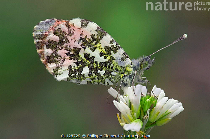 Orange tip butterfly on flower {Anthocharis cardamines} France  ,  EUROPE,FEEDING,FLOWERS,BUTTERFLIES,INVERTEBRATES,INSECTS,LEPIDOPTERA  ,  Philippe Clement
