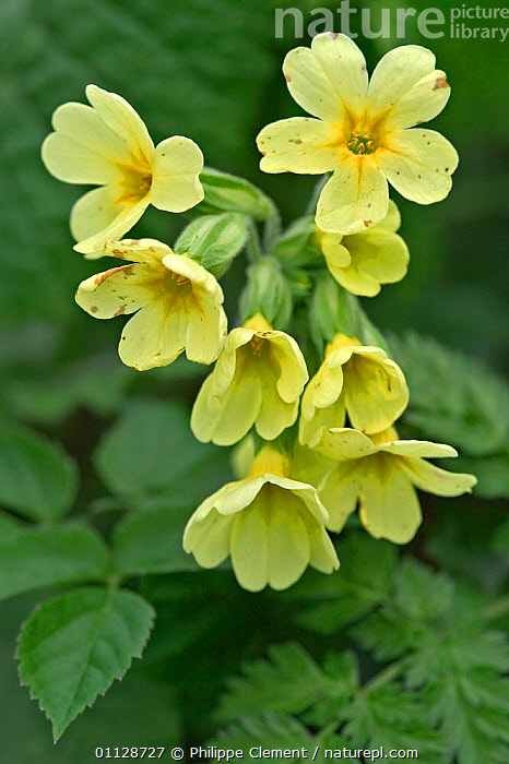 Oxlip flowers {Primula elatior} France  ,  PRIMULAS,WILDFLOWERS,VERTICAL,YELLOW,EUROPE,FLOWER,PLANTS  ,  Philippe Clement