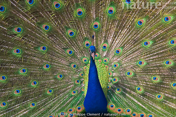 Male Peacock displaying {Pavo cristatus} captive, DISPLAY,BIRDS,PHEASANTS,MATING BEHAVIOUR,MALES,Reproduction,Communication,PEACOCK, Philippe Clement