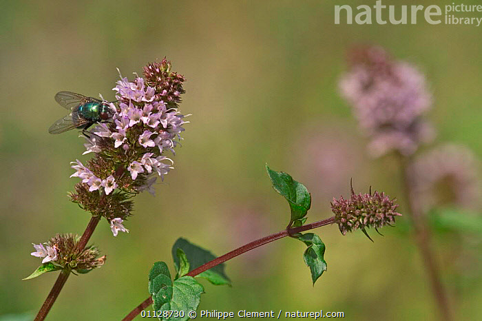 Peppermint in flower {Mentha x piperita} France, HERBS,PIPERITA,PLANTS,EUROPE,FLOWERS, Philippe Clement
