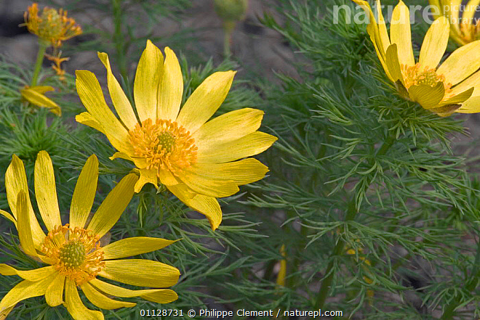 Pheasant's eye in flower {Adonis vernalis} France, FLOWERS,EUROPE,BUTTERCUP,PLANTS,VERNALIS, Philippe Clement