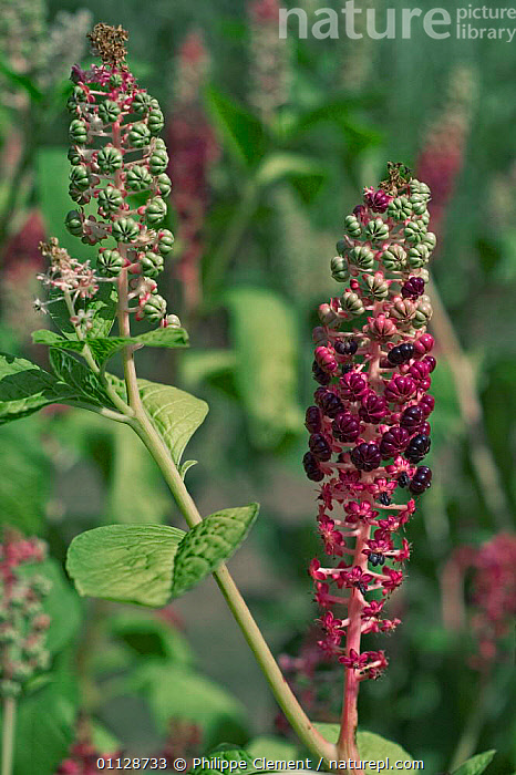 Pokeweed berries {Phytolacca americana} Belgium,native to America  ,  EUROPE,BERRY,AMERICANA,PLANTS,SEEDS,VERTICAL  ,  Philippe Clement