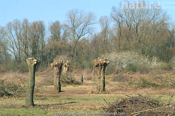 Pollarded White willows in field {Salix alba} Belgium  ,  WETLANDS,TREES,POLLARDING,HABITAT,LANDSCAPES,EUROPE,CUTTING,Plants  ,  Philippe Clement
