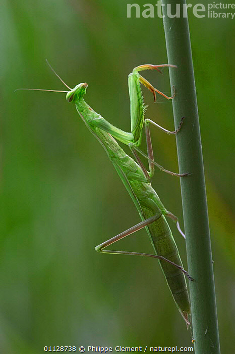 European praying mantis {Mantis religiosa} France  ,  INVERTEBRATES,INSECTS,EUROPE,VERTICAL,PROFILE,Mantodea  ,  Philippe Clement