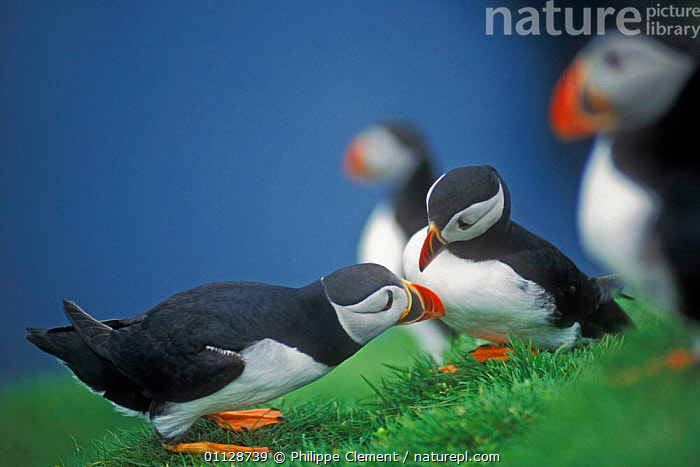 Puffin courtship {Fratercula arctica} Shetland Is, Scotland, UK.  ,  SEABIRDS,UK,EUROPE,BIRDS,COASTS,AUK,MALE FEMALE PAIR,MATING BEHAVIOUR,United Kingdom,Reproduction,British,Auks, Seabirds  ,  Philippe Clement