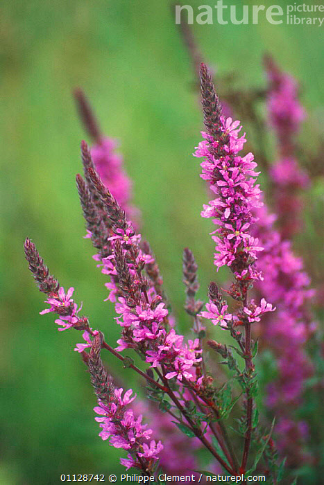 Purple loosestrife in flower {Lythrum salicaria} France, PLANTS,FRANCE,FLOWERS,EUROPE,WILDFLOWERS,VERTICAL, Philippe Clement