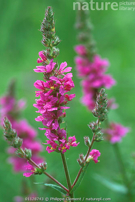 Purple loosestrife in flower {Lythrum salicaria} France  ,  VERTICAL,WILDFLOWERS,EUROPE,FLOWERS,FRANCE,PLANTS  ,  Philippe Clement
