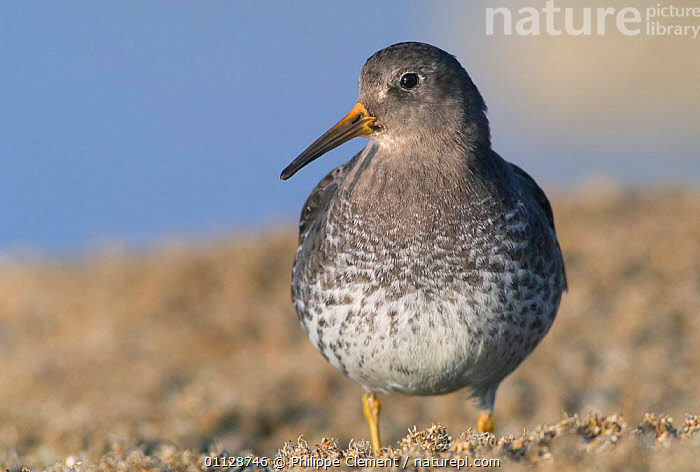 Purple sandpiper {Calidris maritima} Belgium, EUROPE,BIRDS,WADERS,PORTRAITS,SANDPIPERS, Philippe Clement