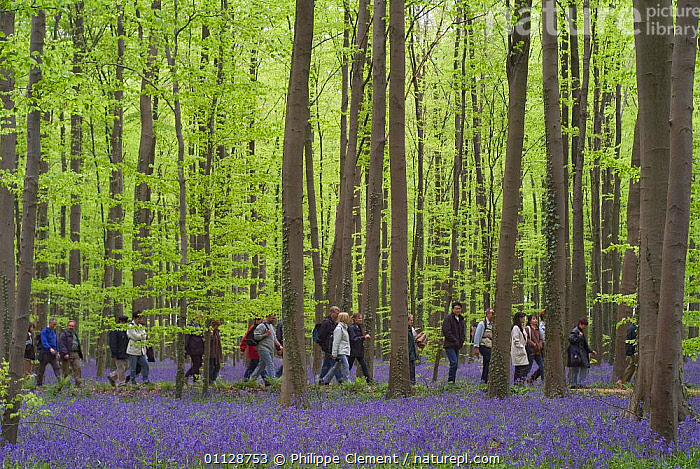 Group of walkers in woodland with bluebells, Haller, Belgium  ,  PEOPLE,LEISURE,LANDSCAPES,HIKING,GROUPS,WOODLANDS,WALKING,THROUGH,SPRING,Europe  ,  Philippe Clement