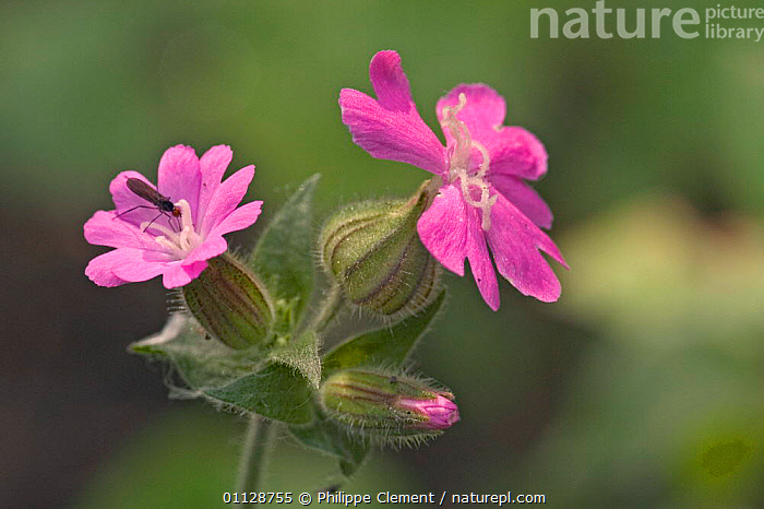 Red campion in flower {Silene dioica} Belgium  ,  FLOWERS,EUROPE,CAMPIONS,PLANTS,PINK,WILDFLOWERS  ,  Philippe Clement