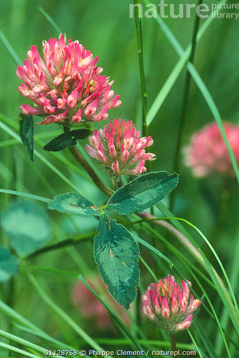 Red clover flowering in field {Trifolium pratense} Belgium  ,  PLANTS,GRASSLAND,CLOVERS,FLOWERS,EUROPE,VERTICAL  ,  Philippe Clement