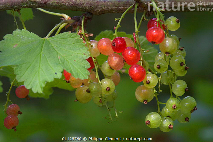 Redcurrants on bush {Ribes rubrum} France  ,  FRUIT,BUSHES,FRUIT,PLANTS,BERRIES,EDIBLE,CULTIVATED,CURRANTS,EUROPE,RED,SEEDS  ,  Philippe Clement