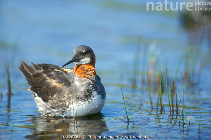 Female Northern / Red necked phalarope {Phalaropus lobatus} Shetland Is, Scotland, UK  ,  WATERFOWL,UK,EUROPE,FEMALES,BIRDS,PHALAROPES,United Kingdom,British  ,  Philippe Clement