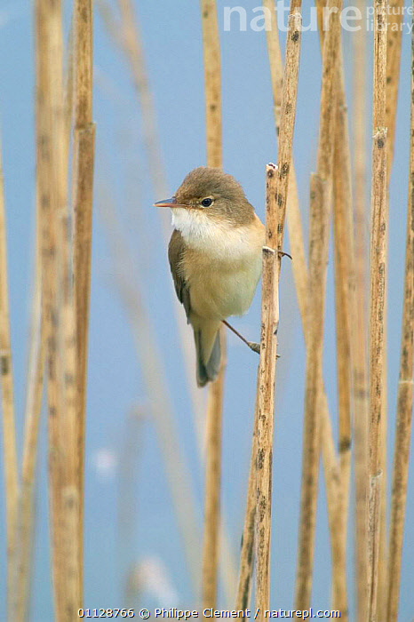 Reed warbler perched amongst reeds {Acrocephalus scirpaceus} France  ,  BIRDS,EUROPE,VERTICAL,WARBLERS,WETLANDS  ,  Philippe Clement