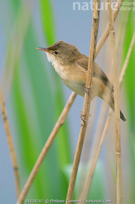 Reed warbler perched on reed {Acrocephalus scirpaceus} France  ,  WETLANDS,WARBLERS,VERTICAL,REEDS,EUROPE,BIRDS  ,  Philippe Clement