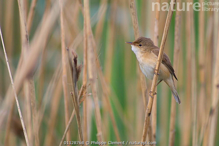 Reed warbler amongst reeds {Acrocephalus scirpaceus} France, BIRDS,EUROPE,WARBLERS,WETLANDS, Philippe Clement