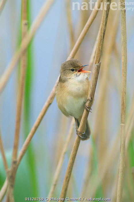 Reed warbler singing on reed {Acrocephalus scirpaceus} France  ,  WETLANDS,WARBLERS,VOCALISATION,VERTICAL,REEDS,EUROPE,BIRDS,BEHAVIOUR  ,  Philippe Clement