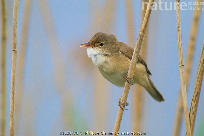 Reed warbler on reed {Acrocephalus scirpaceus} France, BIRDS,EUROPE,REEDS,WARBLERS,WETLANDS, Philippe Clement