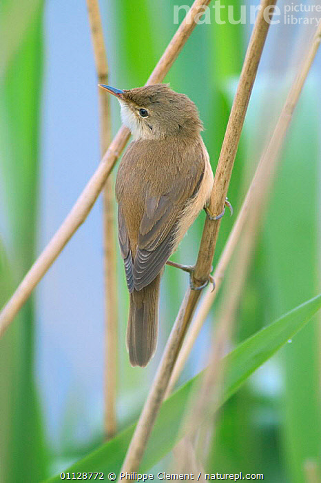 Reed warbler on reed {Acrocephalus scirpaceus} France, BIRDS,EUROPE,REEDS,VERTICAL,WARBLERS,WETLANDS, Philippe Clement
