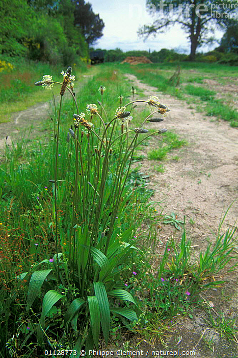 Ribwort plantain on sandy path {Plantago lanceolata} France, VERTICAL,EUROPE,FRANCE,FOOTPATH,HABITAT,LANCEOLATA,PLANTAINS,PATHS,PLANTS, Philippe Clement
