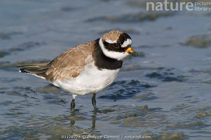 Ringed plover foraging in mud {Charadrius hiaticula} Netherlands  ,  PLOVERS,HOLLAND,EUROPE,BIRDS,WADERS,THE NETHERLANDS  ,  Philippe Clement