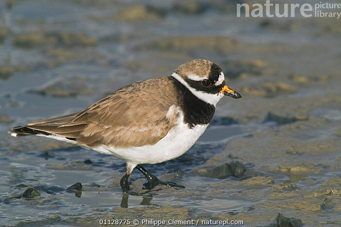 Ringed plover foraging in mud {Charadrius hiaticula} Netherlands, THE NETHERLANDS,PROFILE,WADERS,BIRDS,EUROPE,HOLLAND,PLOVERS, Philippe Clement