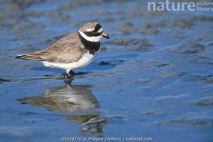 Ringed plover foraging in mud {Charadrius hiaticula} Netherlands  ,  PLOVERS,HOLLAND,EUROPE,BIRDS,WADERS,PROFILE,THE NETHERLANDS  ,  Philippe Clement