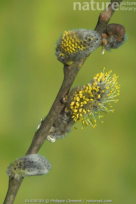 Sallow / pussy willow catkins {Salix caprea} Belgium, VERTICAL,WILLOWS,TREES,SPRING,EUROPE,FLOWERS,PLANTS, Philippe Clement