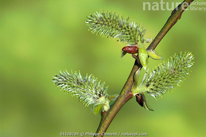 Sallow / pussy willow catkins {Salix caprea} Belgium, PLANTS,FLOWERS,EUROPE,SPRING,TREES,WILLOWS, Philippe Clement