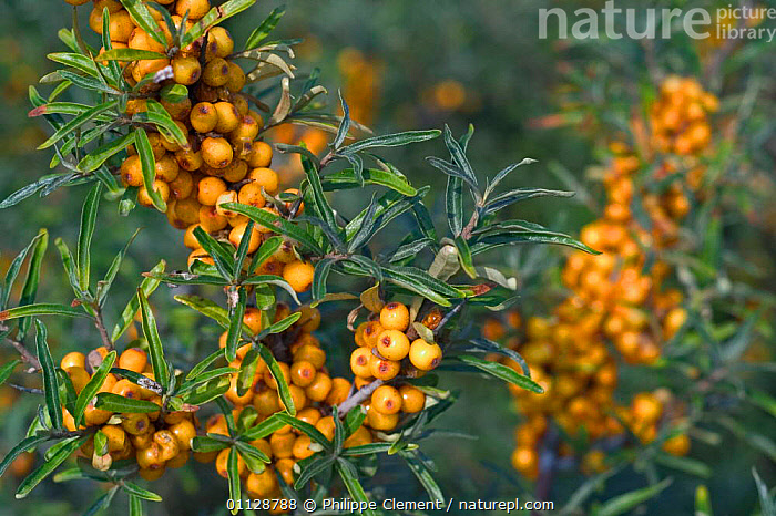 Sea buckthorn berries {Hippophae rhamnoides} Belgium  ,  EUROPE,COASTS,PLANTS  ,  Philippe Clement