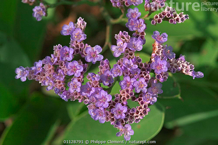 Sea lavender flowers {Limonium vulgare} Belgium, VULGARE,PLANTS,COASTS,CLOSE UPS,EUROPE, Philippe Clement