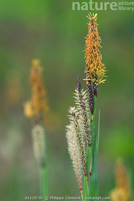 Sedge inflorescence {Carex sp} France  ,  EUROPE,FLOWERS,GRASS,GRASSES,VERTICAL,Plants  ,  Philippe Clement