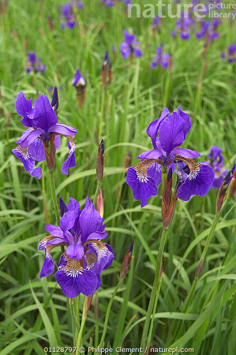 Siberian iris in flower {Iris sibirica} Germany  ,  WETLANDS,PLANTS,EUROPE,FLOWERS  ,  Philippe Clement