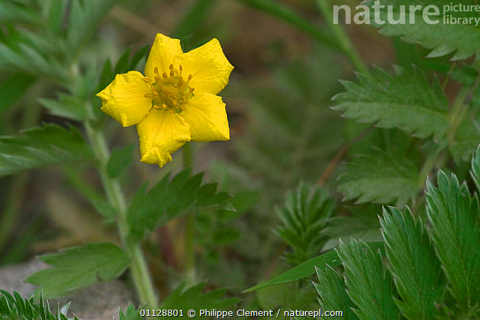 Silverweed flower {Potentilla anserina} France  ,  EUROPE,FLOWERS,PLANTS  ,  Philippe Clement
