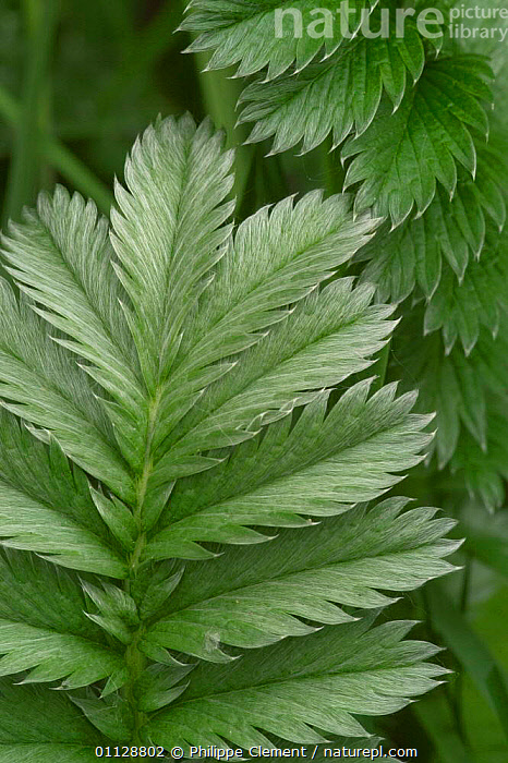 Silverweed leaves {Potentilla anserina} France, PLANTS,EUROPE,VERTICAL, Philippe Clement