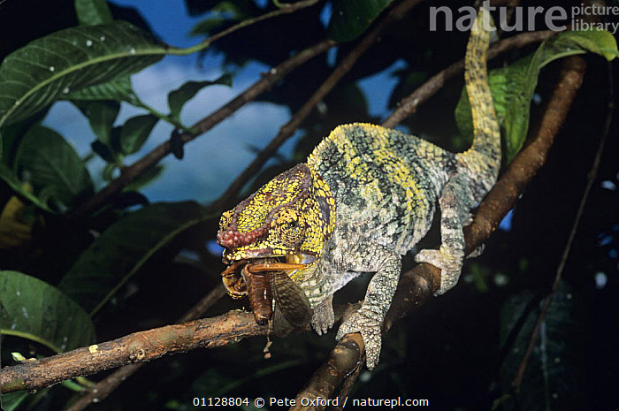 Parson's chameleon (Chamaeleo / Calumma parsonii) female feeding on locust, La Madraka Farm, Madagascar  ,  BEHAVIOUR,CHAMELEONS,FEEDING,FEMALES,GRASSHOPPERS,INSECTS,LIZARDS,MADAGASCAR,ORTHOPTERA,REPTILES,VERTEBRATES,Invertebrates,,Lizards,,,Lizards,  ,  Pete Oxford