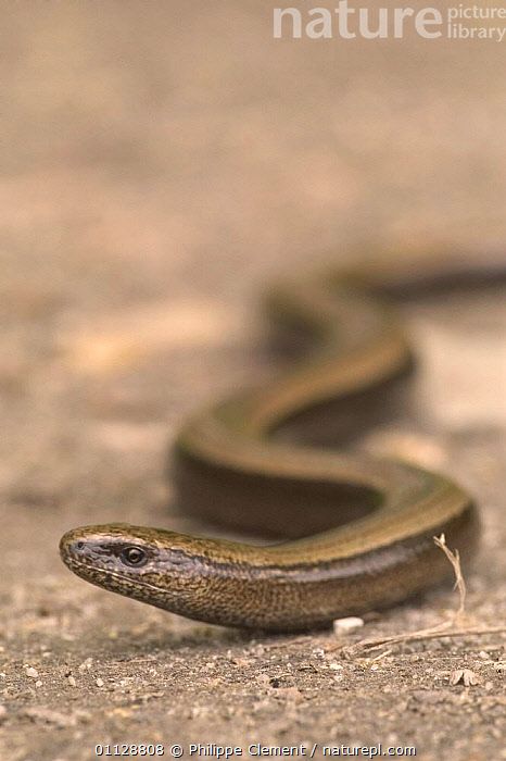 Slow worm moving {Anguis fragilis} Belgium  ,  LIZARDS,MOVEMENT,EUROPE,REPTILES,SLIDING,VERTICAL,,Lizards,,,Lizards,  ,  Philippe Clement
