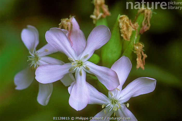 Soap aloe flowers {Saponaria officinalis} Belgium  ,  SOAPWORTS,EUROPE,PLANTS,OFFICINALIS  ,  Philippe Clement