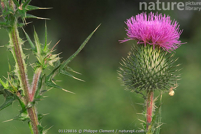 Spear thistle flower {Cirsium vulgare} Belgium, PLANTS,EUROPE,FLOWERS,THISTLES, Philippe Clement
